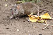 The Norway, Common, Sewer or Brown Rat - Rattus norvegicus