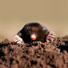 moles and mole proofing